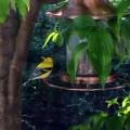 Back Yard Bird Watching on the Main Line